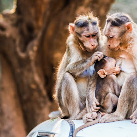 Caring Parents by Manoj Vaidya - Animals Other ( amazing, love, animals, parents, nature, monkeys, family, beautiful, wildlife, beauty in nature, beauty, monkey, parenting, animal )