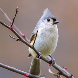 Tufty On Spring Tree by Bill Tiepelman - Animals Birds ( bird, tufted titmouse, tree, nature, wildlife, titmouse, buds, spring )