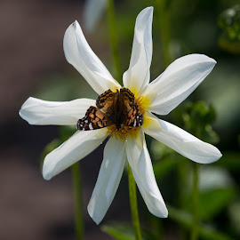 A Butterfly On A Dahlia by Janet Marsh - Animals Insects & Spiders ( white, dahlia, butterfly,  )