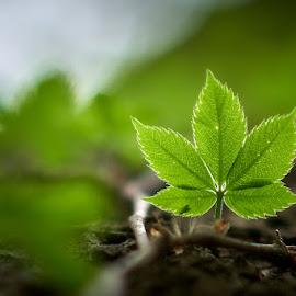 Five Leaf by Svemir Brkic - Nature Up Close Leaves & Grasses ( green, tree, leaf, vine, backlit,  )