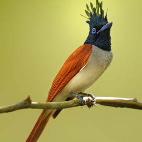 Asian Paradise Flycatcher  by Sharad Agrawal - Animals Birds