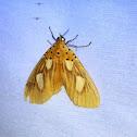 Tropical Tiger Moth