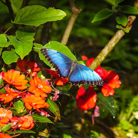 Blue Morpho Outside by Sandy Friedkin - Animals Insects & Spiders ( butterfly. blue morpho, outside )