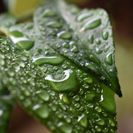Wet Leaf by Sharon Cislowski - Nature Up Close Leaves & Grasses ( water, plant, nature, flora, green, leaf )