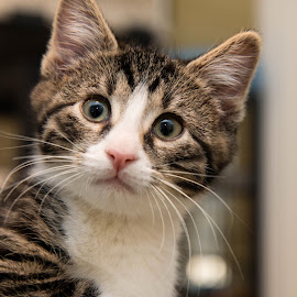 Dewey by Michele Williams - Animals - Cats Kittens ( kitten, cat, adopt, rescue, white, whiskas, tabby,  )