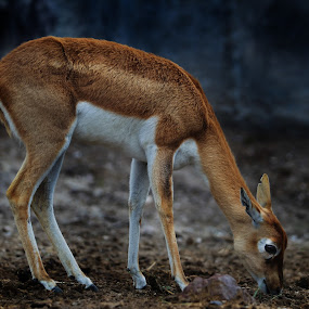 Bambi by Cristobal Garciaferro Rubio - Animals Other Mammals ( small deer, grazing, bambi, beauty, deer )