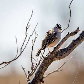 White Crowned Sparrow by Jim Hendrickson - Novices Only Wildlife ( bird, nature, wildlife, birds, sparrow )