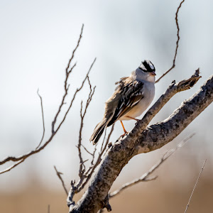White Crowned Sparrow (1 of 1).jpg