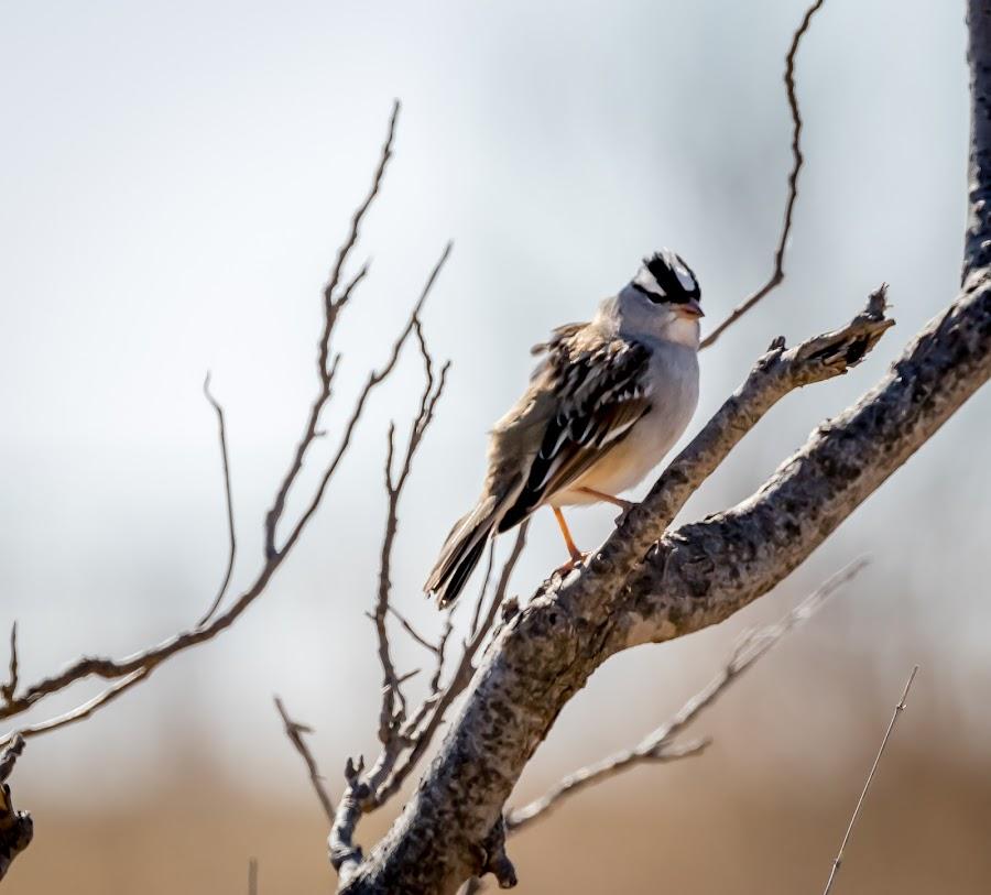 White Crowned Sparrow by Jim Hendrickson - Novices Only Wildlife ( bird, nature, wildlife, birds, sparrow )
