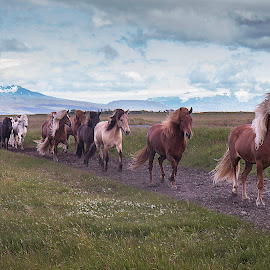 Horse trip on Icelandic horses by Anna Guðmundsdóttir - Animals Horses ( iceland, icelandic horses, horses, íslenskir hestar, hestar, hestaferð, anna guðmundsdóttir, ísland, horse trip )