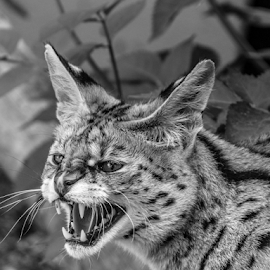 Serval by Garry Chisholm - Black & White Animals ( cat, serval, nature, garrychisholm )