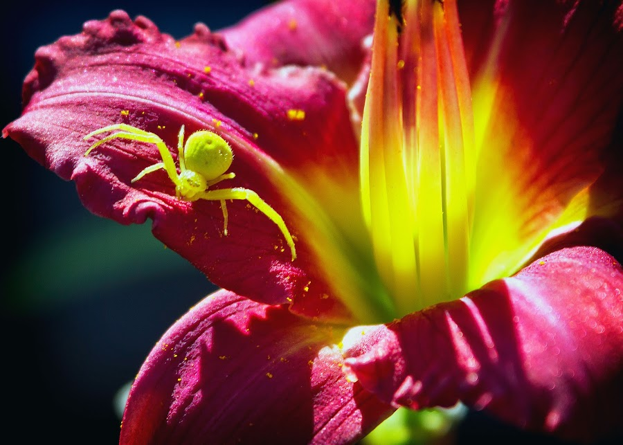Spide on Day Lilly by David Homen - Nature Up Close Flowers - 2011-2013
