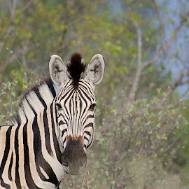 Zebra by Barbara Springer - Animals Horses ( safari, zebra, stripes, wild nature, animal,  )