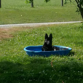 Lilly  by Teresa Flowers Wolford - Animals - Dogs Playing ( water, pool, beautiful, german shepherd dog, summer, adorable, cute dog )
