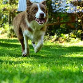 Lexi by Bojan Kolman - Animals - Dogs Running