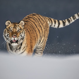 Leila by Jiri Cetkovsky - Animals Lions, Tigers & Big Cats ( winter, tiger, snow, ussurian, leila )