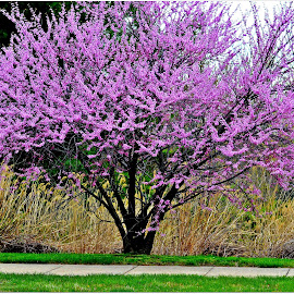 Cherry Tree Balitmore by Denny Paul - Nature Up Close Trees & Bushes ( cherry tree, tree, color, baltimore, sidewalk )