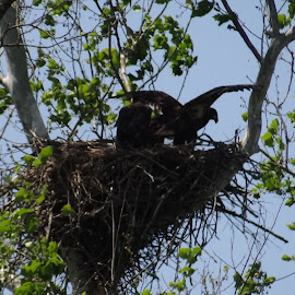 Eaglets spreading their winds by Dale Starr - Animals Birds