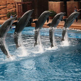 uShaka Dolphins by Brian McDonald - Animals Sea Creatures ( dolphins )