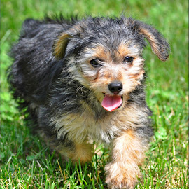 puppy in motion by Isabelle VM - Animals - Dogs Puppies ( puppy, dog )