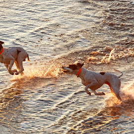 Beach Yippee by Raphael RaCcoon - Animals - Dogs Running ( dogs, dogs playing, dogs running, beach, running )