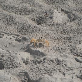 Crab by Eric Gagnon - Animals Fish ( water, sand, fish, white, yellow, beach, crab )