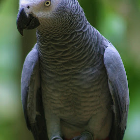 African Grey by Emma Justice - Animals Birds