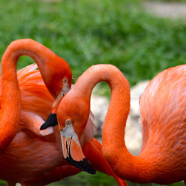 by Clara Scarano Scubla - Novices Only Wildlife ( colorful birds, flamingos, birds,  )