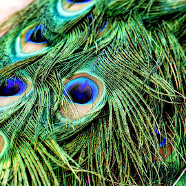 Peacock Feathers by Donalee Eiri - Digital Art Animals ( bird, feathers, peacock, animal )