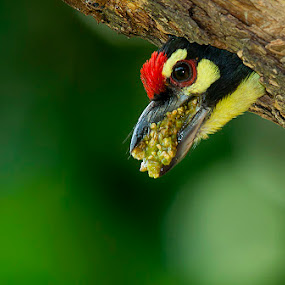 Mouthful by Masood Hussain - Animals Birds ( coppersmith barbet birds nest home color peep peek avian aves bird animals nature wildlife )