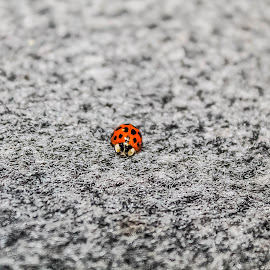 Ladybug by Kelsey Blakely - Animals Insects & Spiders ( up close, red, ladybug, insect, cute )