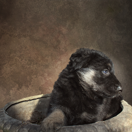 Apache by Dawn Vance - Animals - Dogs Portraits ( flower pot, blue eye, puppy, german shepherd, dog, portrait, pot, animal )