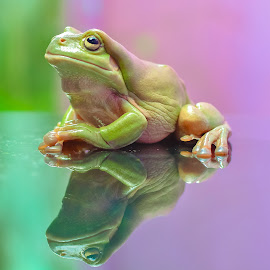 by Joy Advent - Animals Amphibians ( dumpyfrog, frog, kodok, greenfrog )