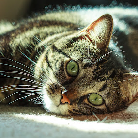 by John Kincaid - Animals - Cats Portraits