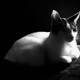 by Bill      (THECREOS) Davis - Animals - Cats Portraits ( #cat, #blackandwhite, #sleepy, #soft )