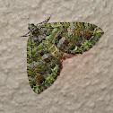 Coprosma Carpet Moth