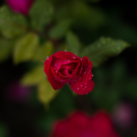 Red Rose After Rain  by Jon Zielke - Novices Only Flowers & Plants ( water, plant, rose, water drops, red, bokeh, evening, flower, rain, droplets )