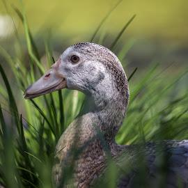 Sitting Duck by Andy Rigby - Animals Birds ( sitting, grass, hidden, duck, pretty,  )