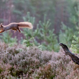To infinity and Beyond by Paul Masterton - Animals Other ( scotland, red squirrel, tufty, cairngorms, heather )