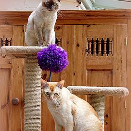 burmese cats by Caroline Beaumont - Animals - Cats Portraits ( burmese cats )
