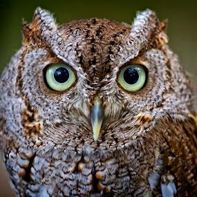 Portrait of a screech owl by Sandy Scott - Animals Birds ( owl portrait, birds of prey, animals, screech owl, owl, wildlife, birds, raptors,  )