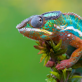 Colourful chameleon by Angi Wallace - Animals Reptiles