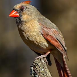 Female Cardinal by Mike Craig - Animals Birds