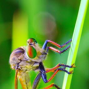 pencuri hatiku...  by Henry Pribadi - Animals Other ( #robberfly #tamankencana #elala )