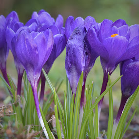 Spring by Marco Bertamé - Flowers Flowers in the Wild ( many, open, purple, crocus, bloom, spring, crowded,  )
