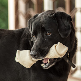 by Frank Corbett - Animals - Dogs Portraits ( guard, pets, labrador, dog, black )