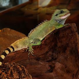 Agama by Jarka Hk - Animals Other ( lizard, color, fotografia, sweetheart, animal )