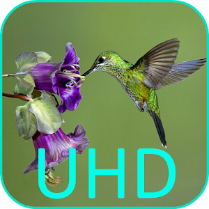 Hummingbirds 4K VideoWallpaper