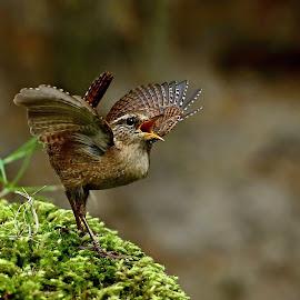 Love Song by Rudolf Pokorny - Animals Birds ( birds love song in may. )