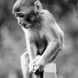Monkey by SANGEETA MENA  - Black & White Animals (  )
